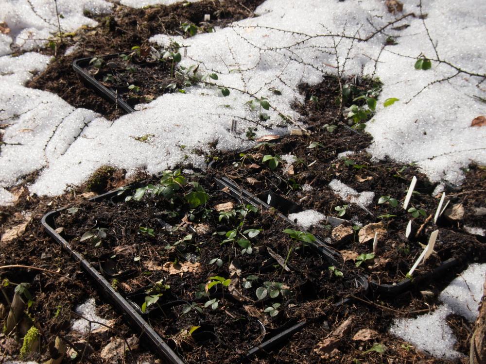 """カンタベリーの春を告げる花""""スノードロップ""""が咲き始めました!_f0276498_18531615.jpg"""
