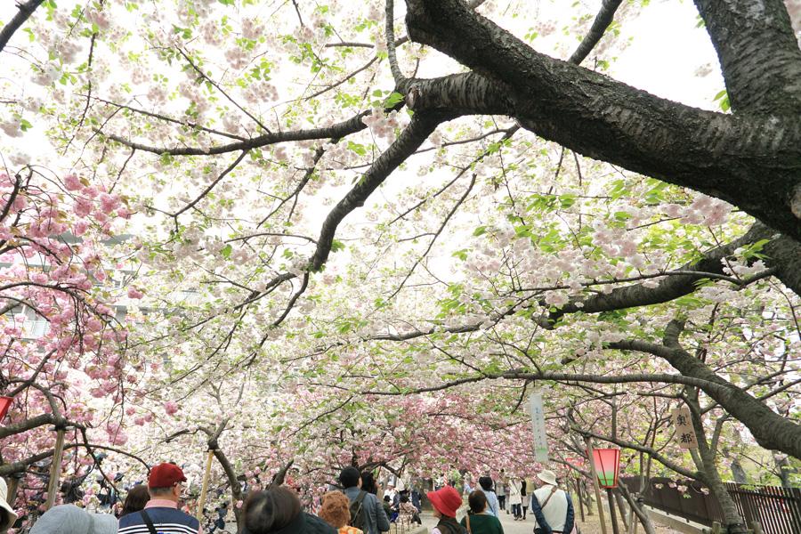 桜の通りぬけ2014_b0043304_165182.jpg