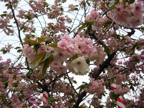 造幣局✿桜の通り抜け_f0223914_2134158.jpg