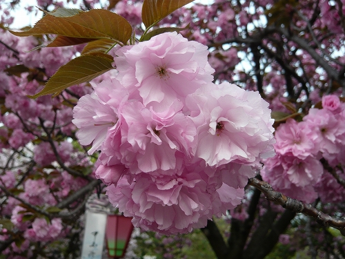 造幣局✿桜の通り抜け_f0223914_21342150.jpg