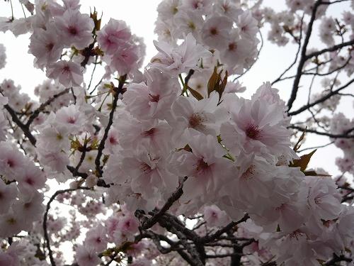 造幣局✿桜の通り抜け_f0223914_21342776.jpg