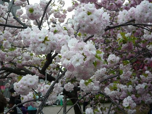 造幣局✿桜の通り抜け_f0223914_21343686.jpg