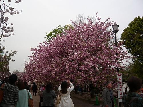 造幣局✿桜の通り抜け_f0223914_21345561.jpg