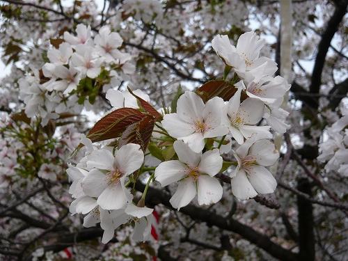 造幣局✿桜の通り抜け_f0223914_2134937.jpg