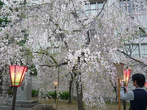 造幣局✿桜の通り抜け_f0223914_2233792.jpg