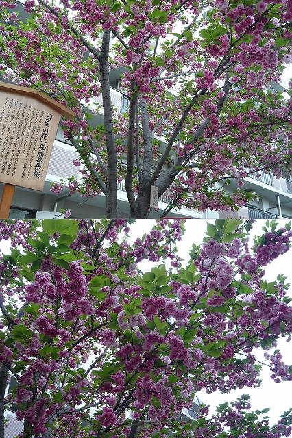 造幣局✿桜の通り抜け_f0223914_2252238.jpg