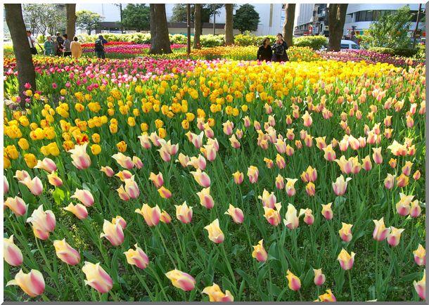 横浜公園チューリップ2014_d0123528_17213248.jpg
