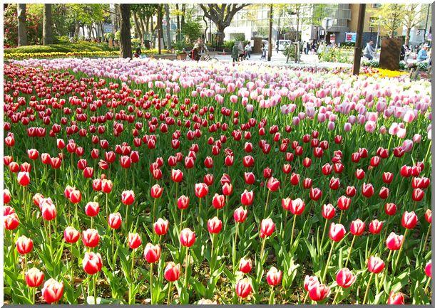 横浜公園チューリップ2014_d0123528_1725682.jpg