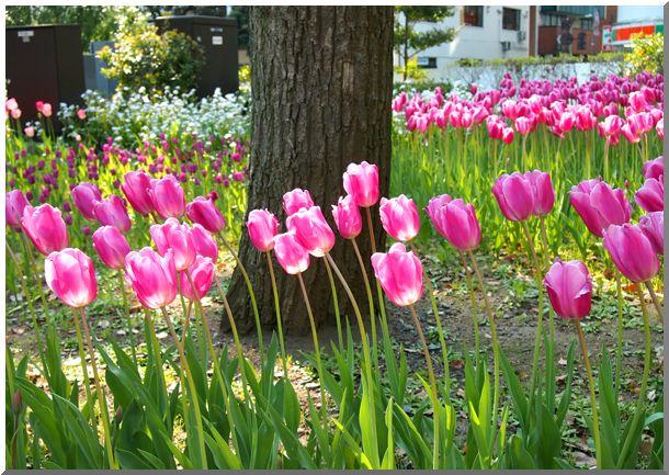 横浜公園チューリップ2014_d0123528_17335017.jpg
