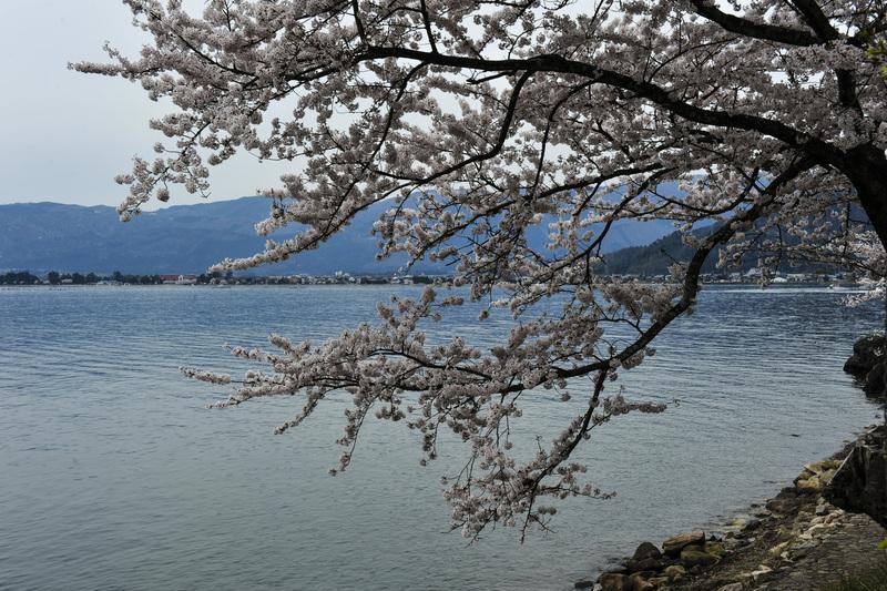海津大崎 湖岸の桜  2014 0413_d0246136_18101352.jpg