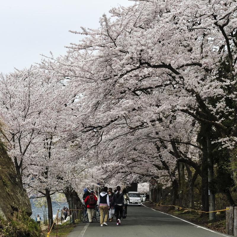 海津大崎 湖岸の桜  2014 0413_d0246136_18105612.jpg
