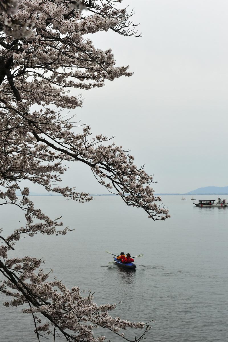 海津大崎 湖岸の桜  2014 0413_d0246136_18124414.jpg