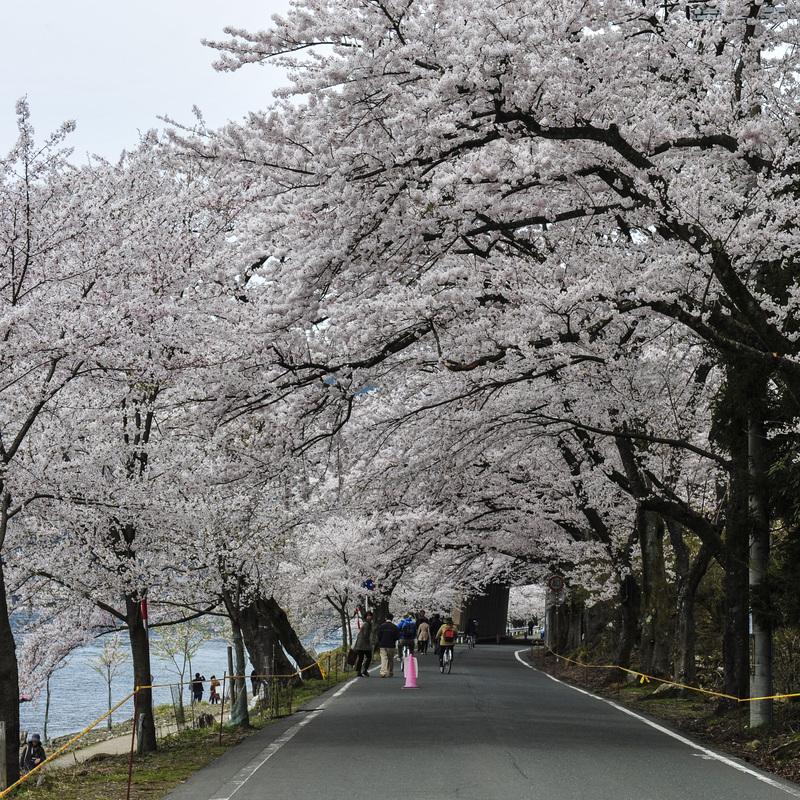 海津大崎 湖岸の桜  2014 0413_d0246136_18131818.jpg