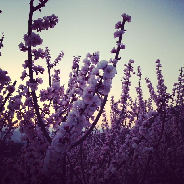 あんずの花と夕日を眺める。_f0320754_916058.jpg
