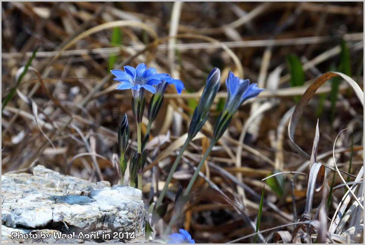 湿原の春 ハルリンドウ他・・・_c0198669_21541534.jpg