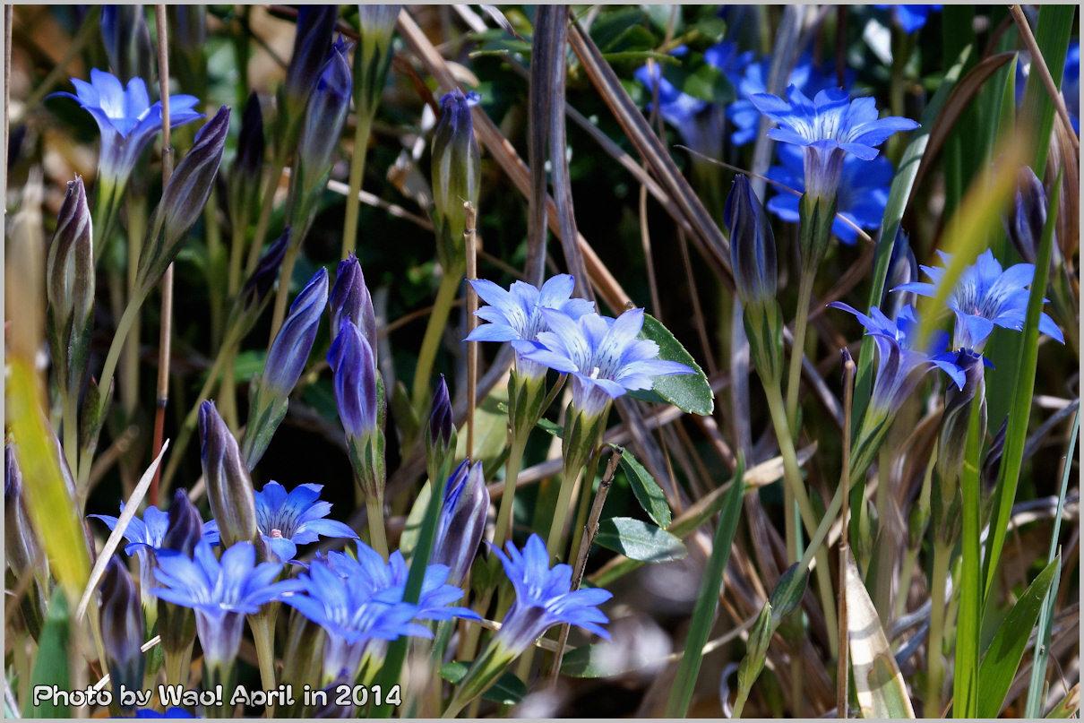 湿原の春 ハルリンドウ他・・・_c0198669_215418.jpg