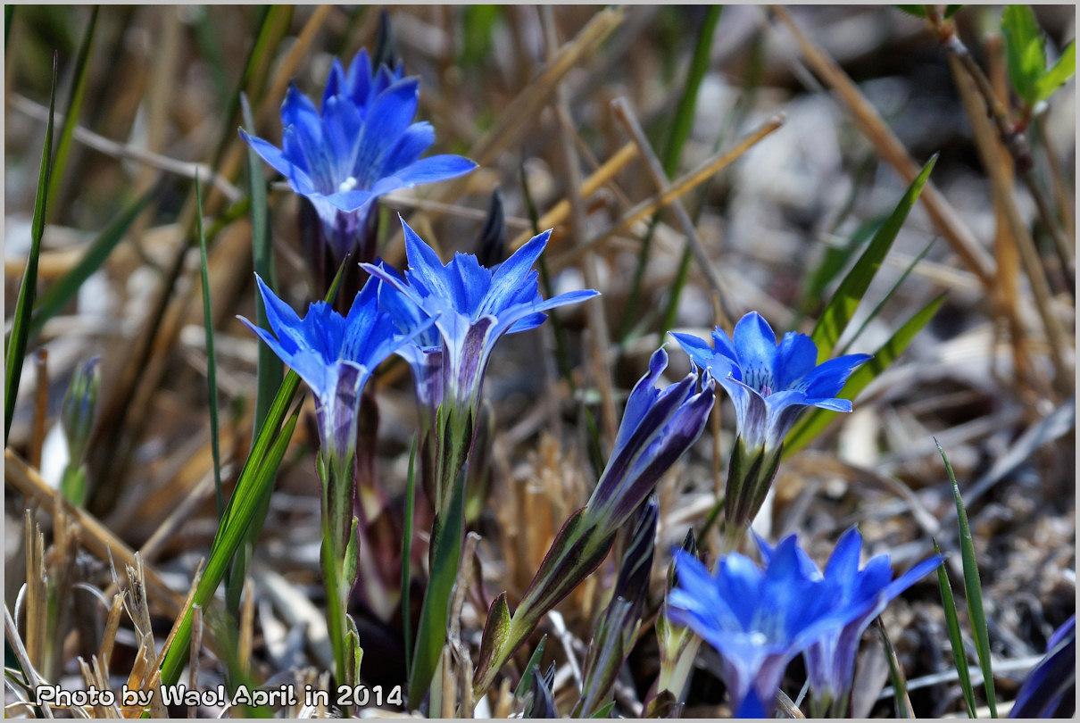 湿原の春 ハルリンドウ他・・・_c0198669_2154184.jpg
