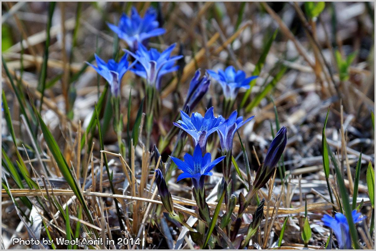 湿原の春 ハルリンドウ他・・・_c0198669_21542597.jpg