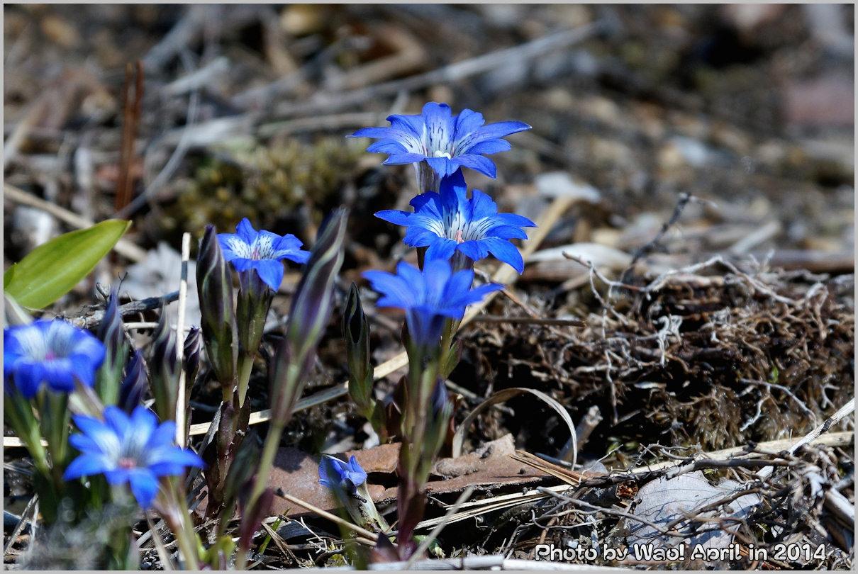 湿原の春 ハルリンドウ他・・・_c0198669_21543199.jpg