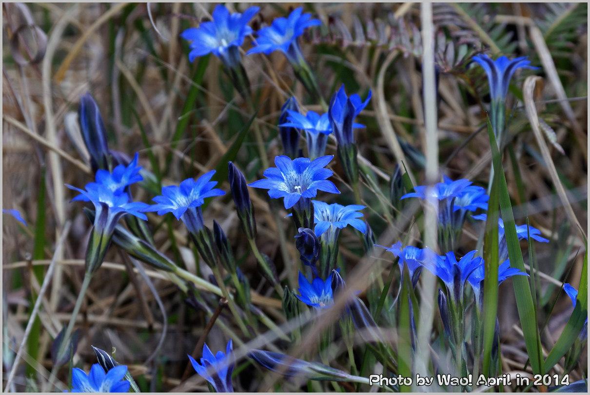 湿原の春 ハルリンドウ他・・・_c0198669_215484.jpg