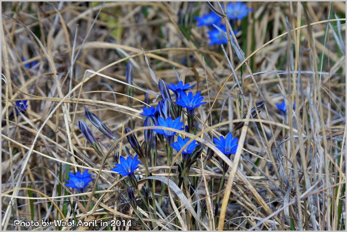 湿原の春 ハルリンドウ他・・・_c0198669_21554556.jpg