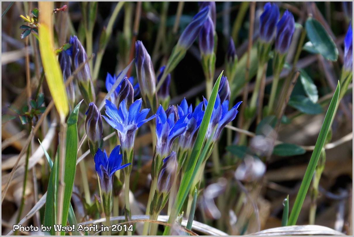 湿原の春 ハルリンドウ他・・・_c0198669_21555912.jpg