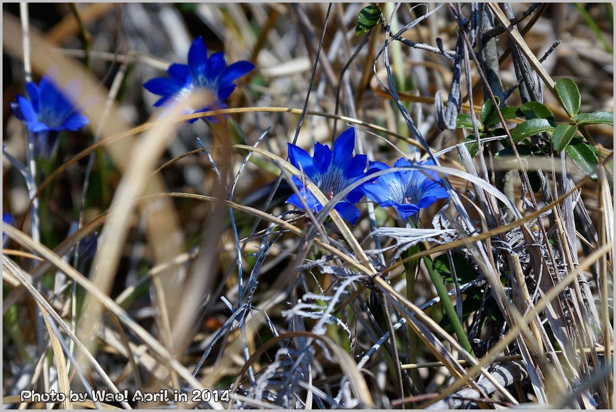 湿原の春 ハルリンドウ他・・・_c0198669_2155864.jpg
