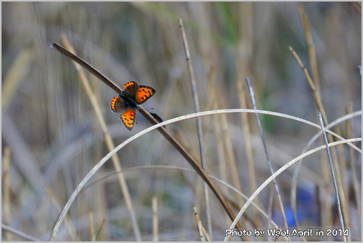 湿原の春 ハルリンドウ他・・・_c0198669_21565340.jpg