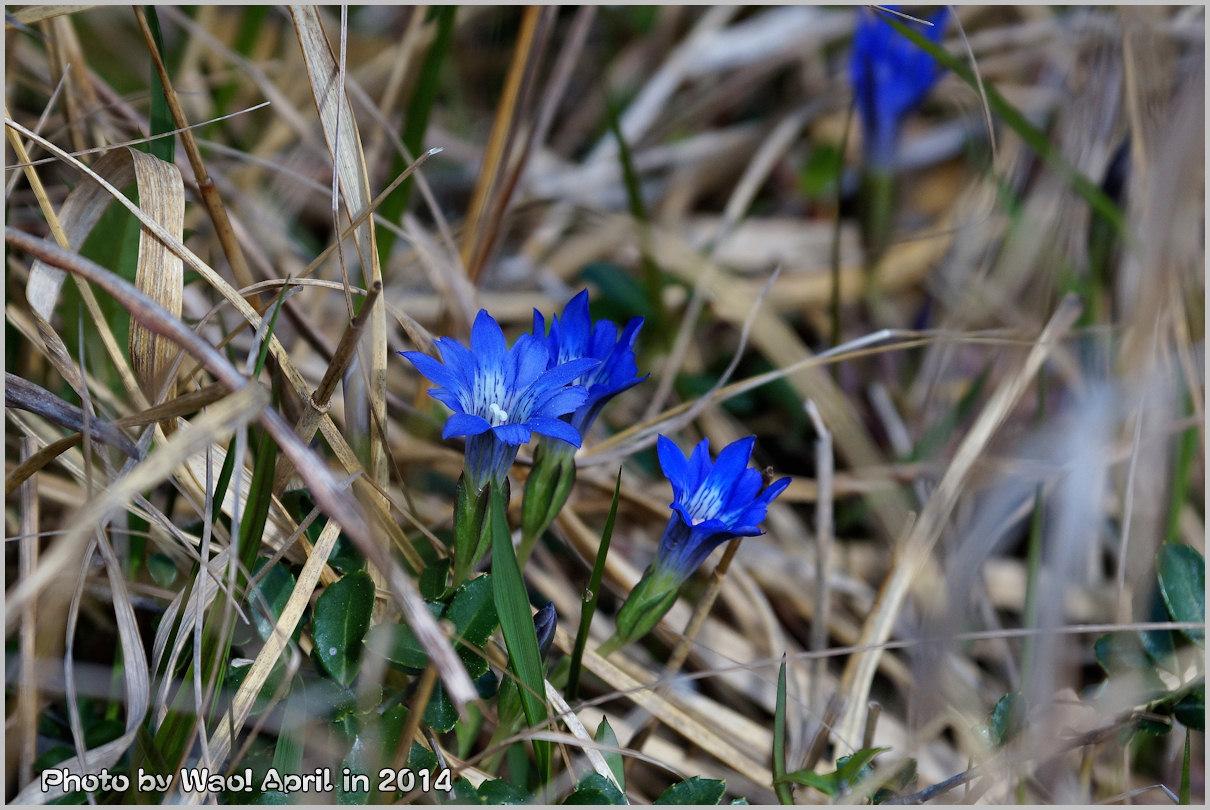 湿原の春 ハルリンドウ他・・・_c0198669_2156596.jpg