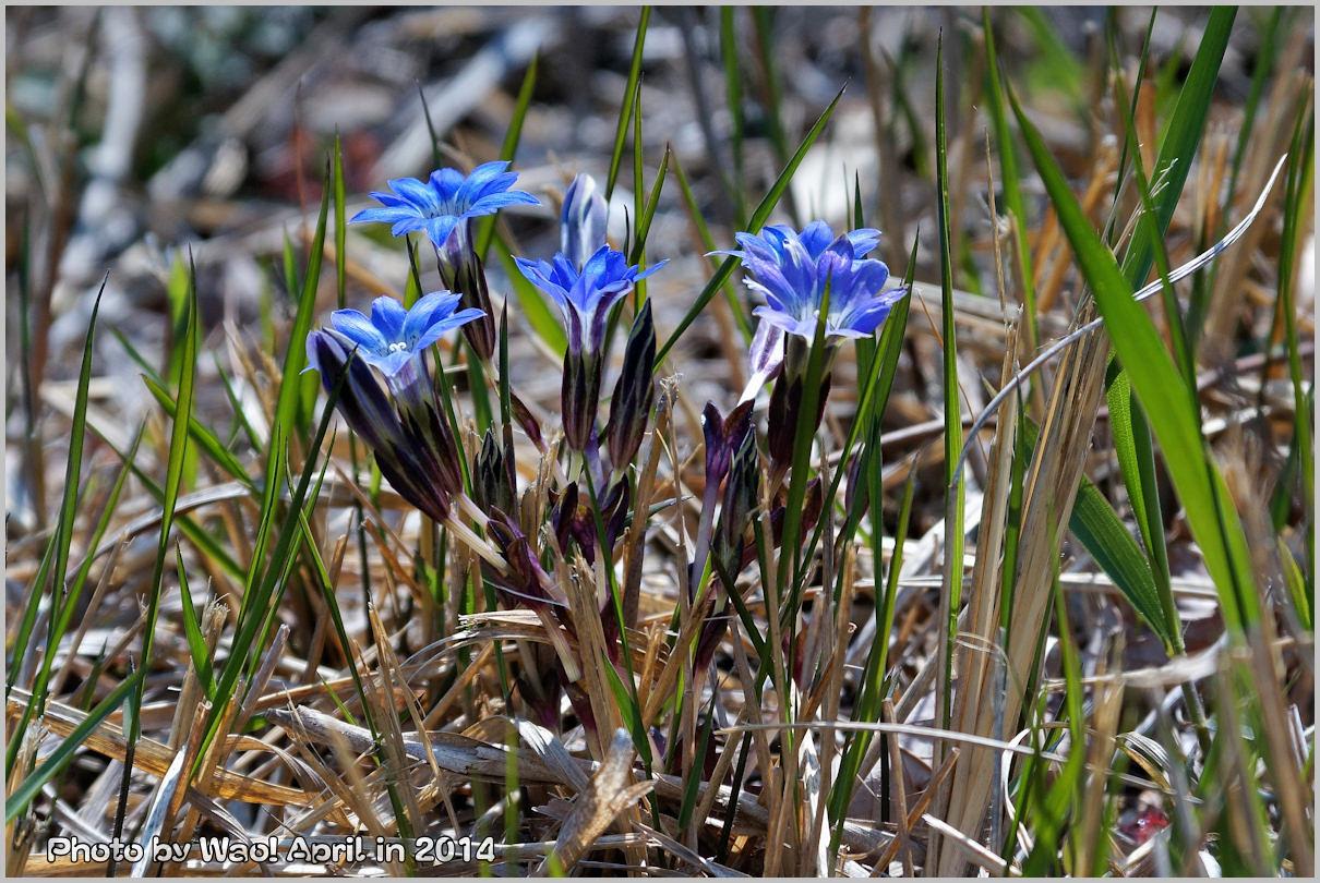湿原の春 ハルリンドウ他・・・_c0198669_22315099.jpg