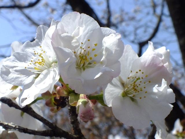 4月11日 日本花の会結城農場の桜 その2_e0145782_16102133.jpg