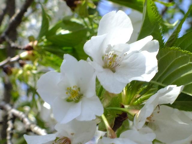 4月11日 日本花の会結城農場の桜 その2_e0145782_16105660.jpg