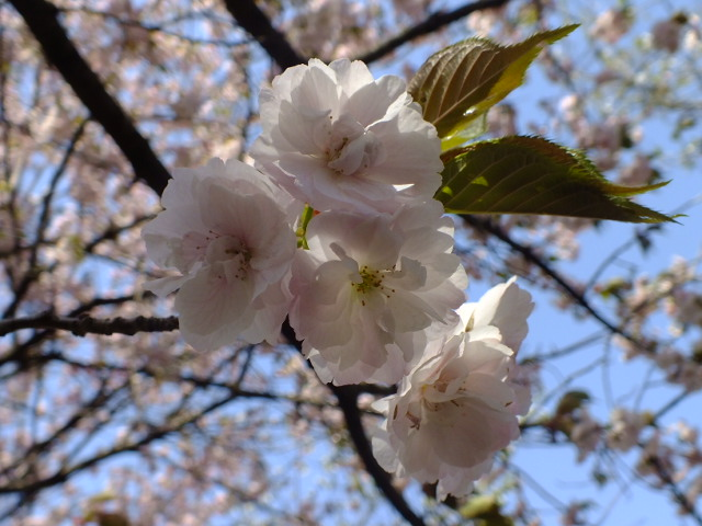 4月11日 日本花の会結城農場の桜 その2_e0145782_1611368.jpg