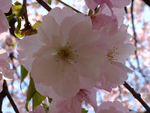 4月11日 日本花の会結城農場の桜 その2_e0145782_16124646.jpg