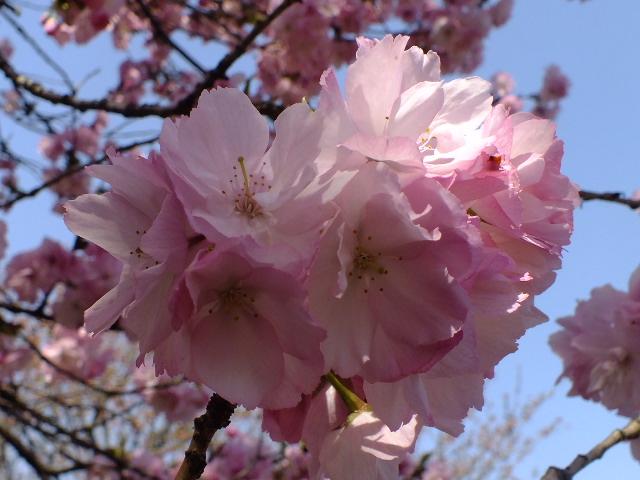 4月11日 日本花の会結城農場の桜 その2_e0145782_1612922.jpg