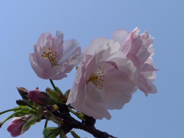 4月11日 日本花の会結城農場の桜 その2_e0145782_16144780.jpg