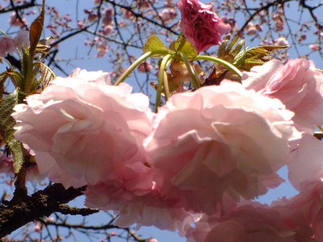 4月11日 日本花の会結城農場の桜 その2_e0145782_161488.jpg