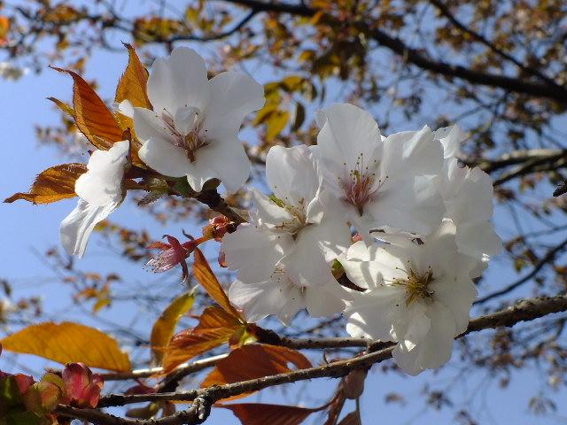 4月11日 日本花の会結城農場の桜 その2_e0145782_16153184.jpg