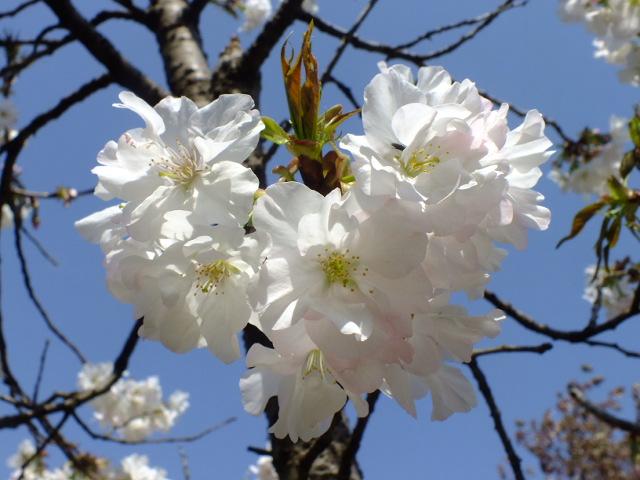 4月11日 日本花の会結城農場の桜 その2_e0145782_1616137.jpg