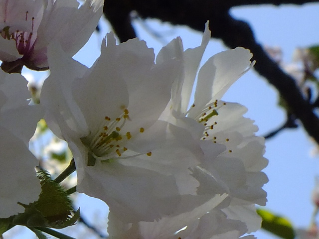 4月11日 日本花の会結城農場の桜 その2_e0145782_16164649.jpg