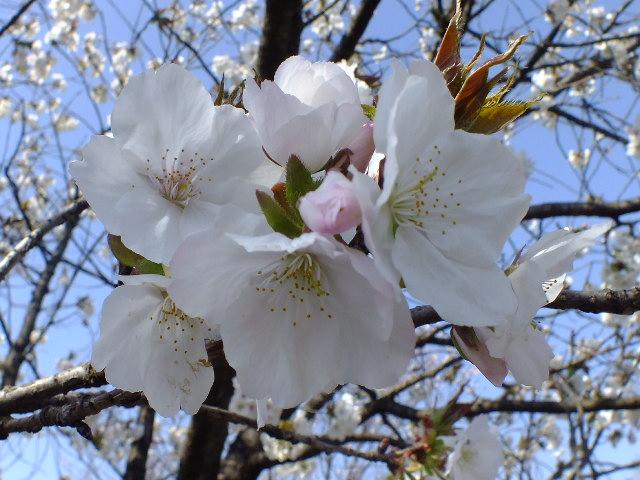 4月11日 日本花の会結城農場の桜 その2_e0145782_16173728.jpg