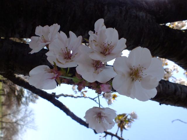 4月11日 日本花の会結城農場の桜 その2_e0145782_16181736.jpg
