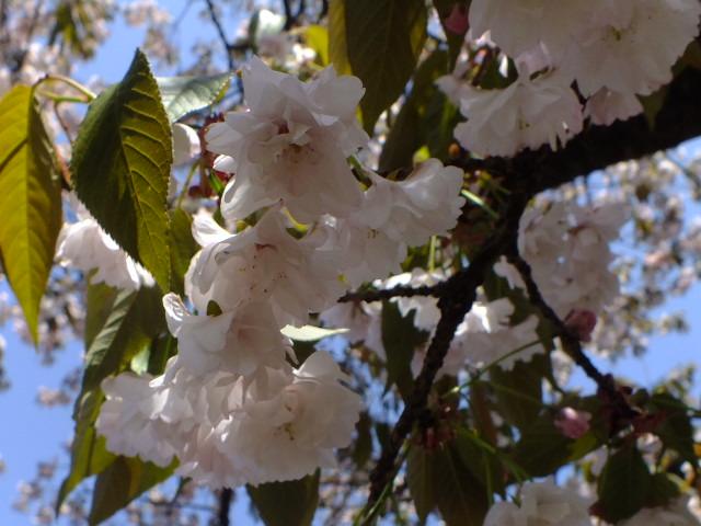 4月11日 日本花の会結城農場の桜 その2_e0145782_16185314.jpg