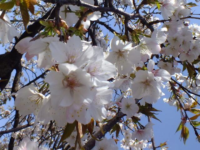 4月11日 日本花の会結城農場の桜 その2_e0145782_16193636.jpg