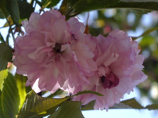 4月11日 日本花の会結城農場の桜 その2_e0145782_16201294.jpg