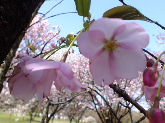 4月11日 日本花の会結城農場の桜 その2_e0145782_166236.jpg