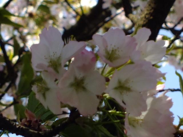 4月11日 日本花の会結城農場の桜 その2_e0145782_1665097.jpg