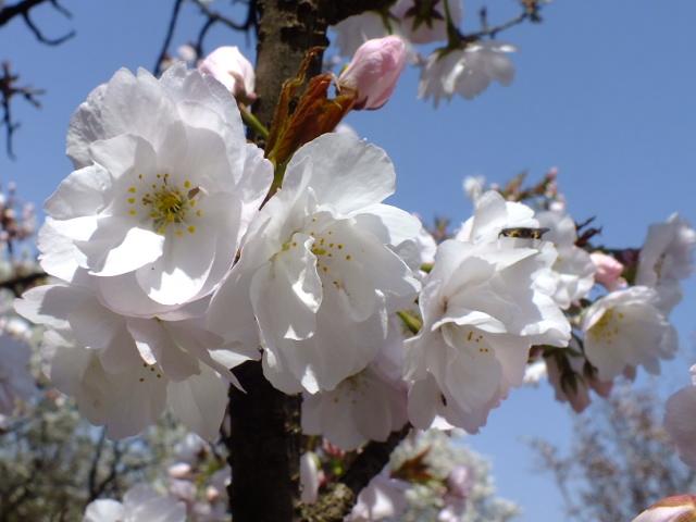 4月11日 日本花の会結城農場の桜 その2_e0145782_1674998.jpg