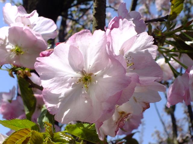 4月11日 日本花の会結城農場の桜 その2_e0145782_1683056.jpg