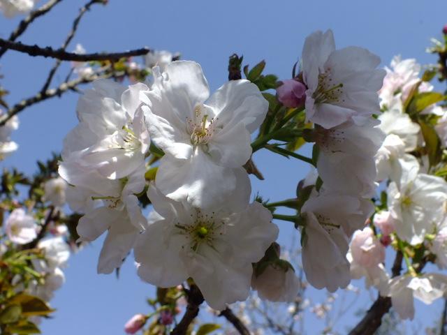 4月11日 日本花の会結城農場の桜 その2_e0145782_1691514.jpg